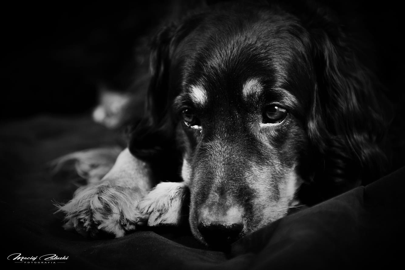 Pies w studiu. Basile jako model